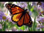 Evolution or Creation - What tells the butterfly wing?